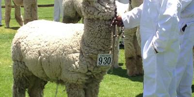 alpaca-fiesta-peru